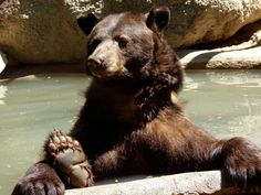 Berry the black bear at Southwest Wildlife Conservation Center.