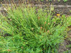 Pimprenelle, Sanguisorba officinalis, ROSACEES, Mai 2014, hémostatique, cicatrisante, astringent Mai, Weed, Gardens, Ceiling Rose, Earth, Plant, Marijuana Plants