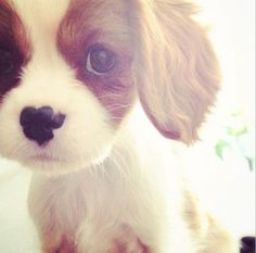 King Charles cavalier puppy!