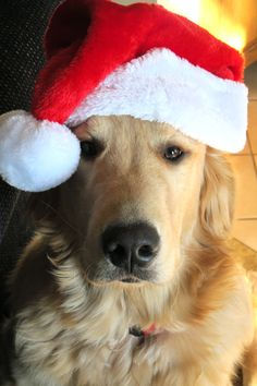 Merry Christmas from Santa's special helper. #Golden_Retriever #Christmas