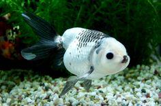 Fancy Goldfish with Hitlers mustache. Lionhead Goldfish, Oranda Goldfish, Aquariums, Animals And Pets, Cute Animals, Catfish Fishing, Cool Fish, Freshwater Aquarium Fish, Pet Fish