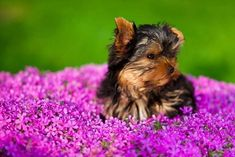 """Will you keep me company?""...  Fetch more pinworthy #dogs by clicking on this #Yorkie #puppy pic"
