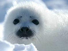 This is an informational/interactive Smart lesson that presents SEALS in an interesting and kid-friendly way. My Kindergarten class loved this lesson and are it fit in well with the Arctic Animals mini-unit we are working on right now.