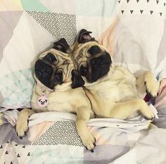Cuddle Time Pugs                                                                                                                                                                                 More