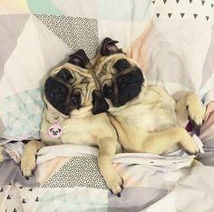 Cuddle Time Pugs