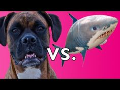 Brock the Boxer Dog vs. Air Swimmer SHARK!!!  I love at the beginning the double take look.