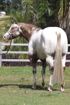 Appaloosa, Beautiful Horses, Equestrian, World, Painting, Animals, Pretty Horses, Animales, Animaux