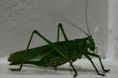 #macro #giant #green #locust