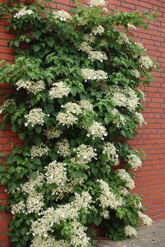perennial- Climbing Hydrangea.  if you put the planter against the house with a trellis this could climb.