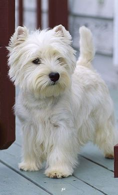 Westie Puppies, Westies, Cute Puppies, Dogs And Puppies, Chihuahua Dogs, Bichons, Beautiful Dogs, Animals Beautiful, Pet Dogs