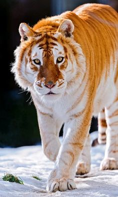 Rare Golden Tiger. there are none left in the wild.