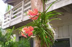 Vanda Orchid growing on a tree