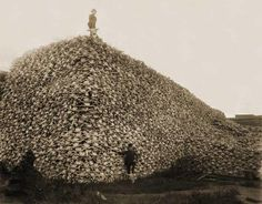 The mountain of bison skulls from 1870 is almost unheard of. This photo seems fake and as if it is one of those hidden photo pictures. So sad that it nearly caused the extinction of such a a powerful beautiful beast.