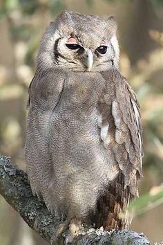 Giant Eagle Owl in South Africa - Kruger National Park
