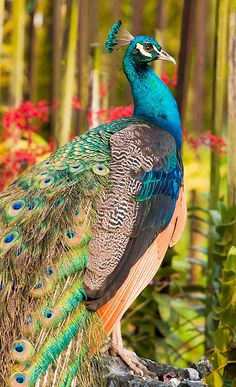 Proud Peacock in Orchid Garden