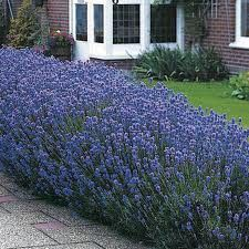 Start Lavender seed to grow this evergreen perennial with a subtle blue-green coloring and sweet fragrance. Lavender herb seeds are very rewarding to grow! Lavandula Angustifolia Munstead, Lavender Seeds, Growing Lavender, Lavender Flowers, Lavender Plants, Lavender Bush, Lavender Hedge, Gardens, Gardening