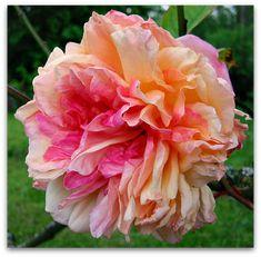 Souvenir de Madame Leonie Viennot Souvenir de Madame Leonie Viennot A rose by any other name wouldnt smell as sweet