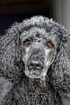 Poodles are probably the most misunderstood of breeds. I will always have a poodle and a golden. But the poodle is smarter Beautiful Dogs, Animals Beautiful, Cute Animals, I Love Dogs, Cute Dogs, Regard Animal, Grey Poodle, Mundo Animal, Hunting Dogs