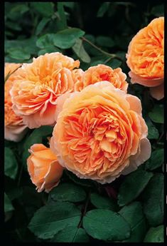 Crown Princess Margareta David Austin Rose
