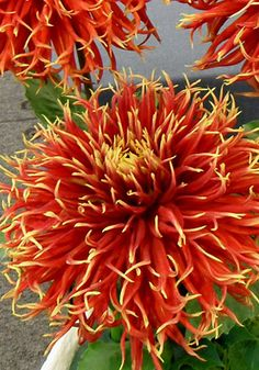Garden Flowers - Annuals Or Perennials Cactus Dahlia 'Show-N-Tell' All Flowers, Exotic Flowers, Amazing Flowers, Beautiful Flowers, Herbaceous Perennials, Dahlia Flower, Gerbera, Zinnias, Dahlias
