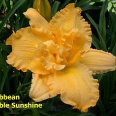 CARIBBEAN DOUBLE SUNSHINE Hybridizer: Talbott Year of Registration or Introduction: 1993 Ploidy: Diploid Foliage type: Evergreen Scape height: 24 inches Bloom size: 5 inches Bloom time: Midseason Plant Traits: Rebloom Diurnal Bloom Traits: Self Bloom Form: Double Color description: Golden yellow self with yellow green throat.