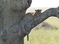 Superb leopard shot by guest, Maartje Bruijnen. Serengeti Migration Camp