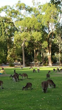 Kangaroos in Yanchep, Perth, Western Australia Perth Western Australia, Australia Travel, Australia 2017, Beautiful Places To Visit, Great Places, Beautiful Things, Tasmania, Australian Animals, Australian Artists