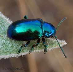 """""""Green"""" Blue Milkweed Beetle - Chrysochus cobaltinus. I remember going to the beach when I was little and being covered in hundreds of tiny blue iridescent beetles, I think this was the variety."""