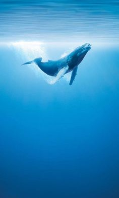 humpback whales // breathtaking dive