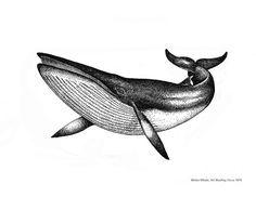 Minke Whale - Vintage Drawing by Art MacKay Blue Whale Drawing, Wave Drawing, Whale Art, Killer Whale Tattoo, Whale Tattoos, Minke Whale, Whale Illustration, Gcse Art Sketchbook, Stippling Art