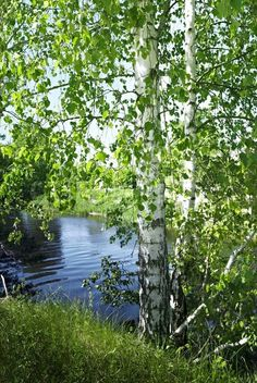 Stock image of 'Birch tree by the river in summer' - Modern Scenery Photography, Landscape Photography, Night Photography, Fantasy Landscape, Landscape Photos, Beautiful World, Beautiful Images, Natural Swimming Ponds, Summer Trees