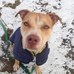 I am Charming &I was rescued by Get A Bull Rescue in Huntington, NY, who are looking for a home for me. I'm 2 years old. I went to special training classes, I get along great with other dogs and I'm perfectly house-trained. I'm great with cats and kids, too! Please email getabullrescue@gmail.com or call 516-714-4403 to meet me.
