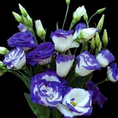 """Annuals - Lisianthus """"Blue Rim"""" Seeds - Eustoma grandiflorum - Sow All Year - Annual was sold for R2.00 on 14 May at 17:16 by Seeds and All in Port Elizabeth (ID:21809702)"""