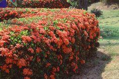 """""""IXORA COCCINEA""""/  Nomes Populares: Ixora, Icsória, Ixora-coral, Ixória   Família: Rubiaceae   Categoria: Arbustos, Arbustos Tropicais, Cercas Vivas, Flores Perenes   Clima: Equatorial, Oceânico, Subtropical, Tropical   Origem: Indonésia, Malásia   Altura: 0.9 a 1.2 metros   Luminosidade: Sol Pleno   Ciclo de Vida: Perene"""