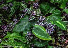 Tradescantia zebrina, the lovely purple and silver plant