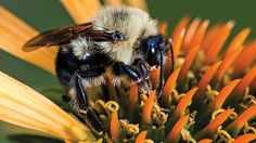 The two-spotted bumblebee, found in eastern North America, is one of about 250 bumblebee species worldwide.