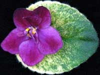 African violet 'Dark Kiss' NEW NEW for 2012 A sport of 'Sierra Sunrise'! An exciting combination of burgundy colored pansies, with darker burgundy on the flower tips. It stands out nicely over the heavily variegated, champion style foliage. Grows as a semiminiature. Excellent for show growing! From Lyndon Lyon Greenhouses Plant $7.99 (Leaves 3.50) www.facebook.com/llgreenhouses
