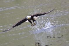 #ChickPicotheDay! (Day 1,256) Take-out for lunch. #BaldEagle #Fishing #HappyMothersDaytoMe #Brantastic #GrandRiver