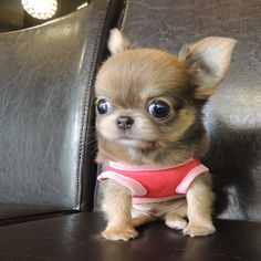 Chihuahua Care - 5 Important Issues Every Owner Should Know - Dog Pets Zone Teacup Chihuahua Puppies, Tiny Puppies, Chihuahua Love, Cute Dogs And Puppies, Chihuahuas, Pet Dogs, Dog Cat, Cute Funny Animals, Cute Baby Animals