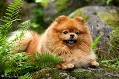 Pomeranian, by Devilstar.