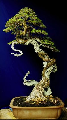 Pine Bonsai Beautiful Scroll down so you can only see part of the jin and deadwood. It looks like a real tree in the distance. Beautiful work with this Bonsai Ikebana, Plantas Bonsai, Pine Bonsai, Bonsai Trees, Juniper Bonsai, Dwarf Trees, Miniature Trees, Bonsai Garden, Growing Tree