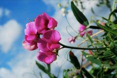 ERTEBLOMST Vitenskapelig navn: Fabaceae