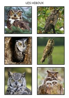 Hibou Ou Chouette 295 best hibou chouette owls images on pinterest in 2018 | birds