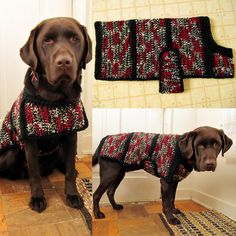 Chocolate Lab Jack modeling his black,white, red, and gray sweater.