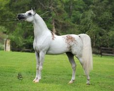 """Arab with the unique """"Bloody"""" shoulder and hip markings."""