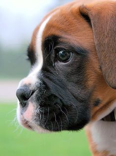 8 Boxer Facts You Might Not Know – American Kennel Club 8 Boxer Facts You Might Not Know – American Kennel Club boxer dog - Dogs Child Friendly Dogs, Friendly Dog Breeds, Cute Puppies, Cute Dogs, Dogs And Puppies, Doggies, Popular Boy Dog Names, Boxers, Boxer Dog Puppy
