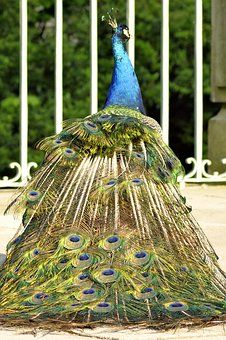Peacock, Tail, Eye, Pen, Color Peacock Images, Peacock Photos, Peacock Tail, Beautiful Park, Cheap Travel, Vacation Trips, High Quality Images, Parka, Find Image
