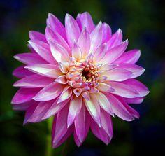 Pink pinwheel.