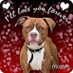 Urgent Troy, OH - Pit Bull Terrier. Meet Mogley a Dog for Adoption. Miami Animal Shelter