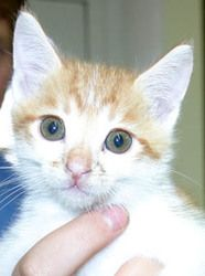 Doodle is an adoptable Domestic Medium Hair - Orange And White Cat in Ventura, CA. Found as a stray, Doodle is an orange and white male, approx. DOB 5/6/2013. He is outgoing, a little mischievous, but...